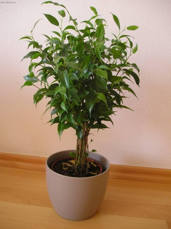 Фотографии к статье: Фикус Бенджамина (Ficus benjamina)
