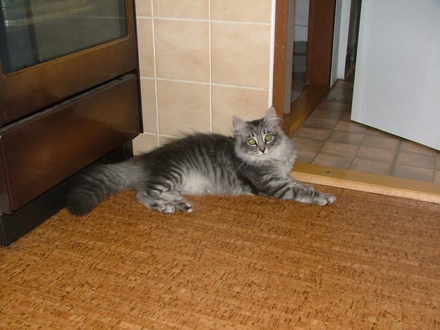 Фотографии к статье сибирская кошка