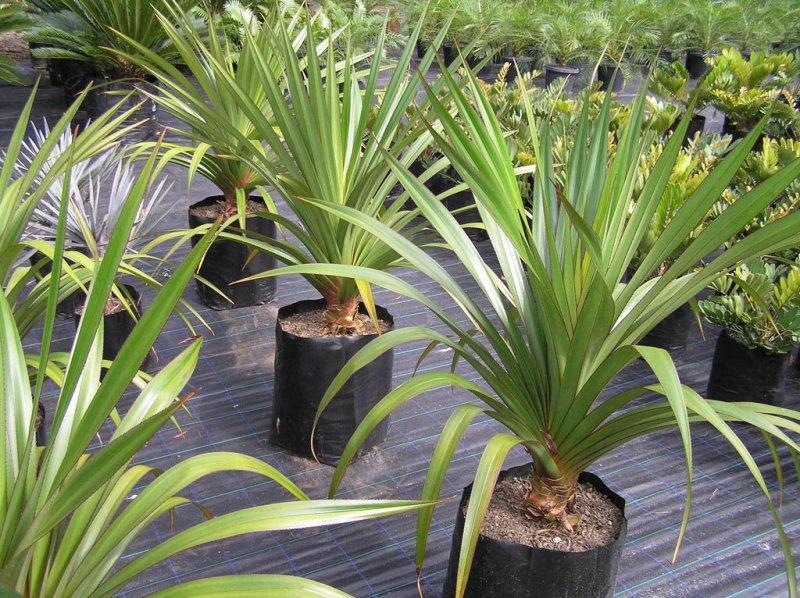 Как называются цветы похожие на пальму фото