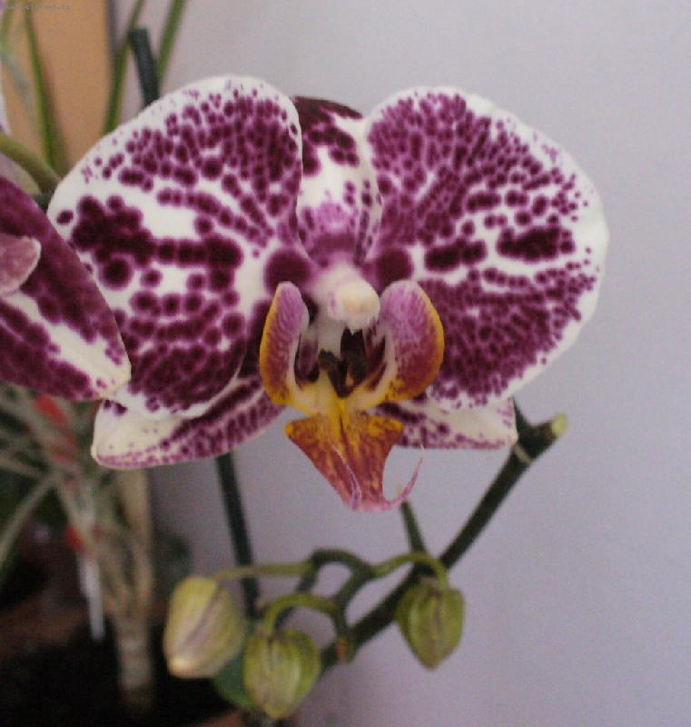 орхидеи уход за ними в домашних условиях цветение