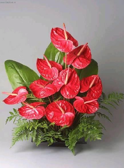 Антуриум уход за цветком и пересадка