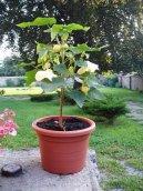 Абутилон (комнатный клен) (Abutilon) / Комнатные растения и цветы