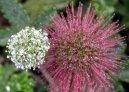 Ацена мелколистная (Acaena mikrophylla) / Комнатные растения и цветы / Альпийские растения
