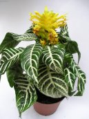 Афеляндра (Aphelandra) / Комнатные растения и цветы / Цветущие растения