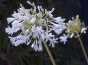Агапантус (Agapanthus) / Комнатные растения и цветы / Многолетние