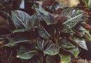 Аглаонема округлая (Aglaonema rotundum) / Комнатные растения и цветы
