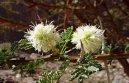 Акация (Acacia) / Комнатные растения и цветы