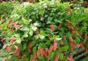 Акалифа (Лисий хвост) (Acalypha) / Комнатные растения и цветы / Ядовитые растения