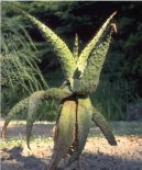 Алоэ (Столетник) (Aloe)