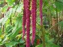 Амарантус (щирица) (Amaranthus) / Комнатные растения и цветы / Неприхотливые растения
