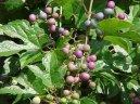 Ампелопсис (виноградовник) (Ampelopsis)