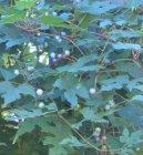 Ампелопсис (виноградовник) (Ampelopsis) / Комнатные растения и цветы