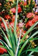 Ананас хохлатый (пестрый) (Ananas comosus variegatus)