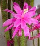 Апорокактус плетевидный (Aporocactus flagelliformis) / Комнатные растения и цветы / Кактусы, суккуленты
