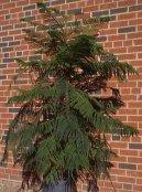 Араукария (комнатная ель) (Araucaria) / Комнатные растения и цветы / Деревца