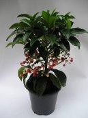 Ардизия (Ardisia) / Комнатные растения и цветы / Плодоносящие растения