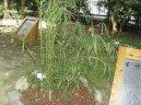 Арундинария (Arundinaria)