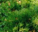Аспарагус (спаржа Шпренгера) (Asparagus Sprengeri.) / Комнатные растения и цветы / Плодоносящие растения