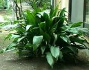 Аспидистра (Aspidistra) / Комнатные растения и цветы / Кустовые