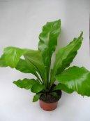 Асплениум волосовидный (костенец волосовидный) (Asplenium trichomanes)