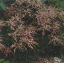 Астильба Арендса (Astilbe arendsii) / Комнатные растения и цветы / Цветущие растения
