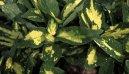 Аукуба японская (золотое дерево) (Aucuba japonica) / Комнатные растения и цветы / Кустовые