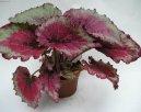 Бегония (Begonia)
