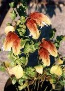 Белопероне (Beloperone) / Комнатные растения и цветы
