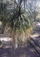 Бокарнея (нолина) (Beaucarnea recurvata) / Комнатные растения и цветы / С красивыми листьями