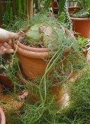 Бовиэя вьющаяся (Bowiea volubilis) / Комнатные растения и цветы / С красивыми листьями