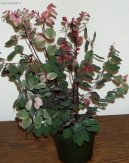 Брейния (Breynia) / Комнатные растения и цветы / Кустовые