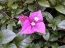 Бугенвиллия голая (Bougainvillea glabra) / Комнатные растения и цветы