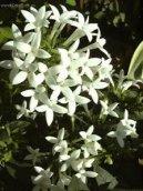 Бувардия (Bouvardia) / Комнатные растения и цветы / Кустовые