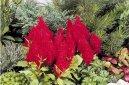 Целозия (Celosia) / Комнатные растения и цветы / Однолетние