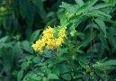 Цеструм (Cestrum) / Комнатные растения и цветы / Неприхотливые растения