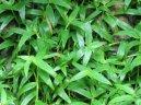 Цианотис кьюский (Cyanotis kewensis) / Комнатные растения и цветы / Кактусы, суккуленты
