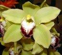 Цимбидиум (Cymbidium orchid)