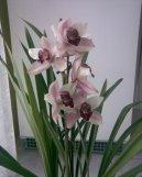 Цимбидиум (Cymbidium orchid) / Комнатные растения и цветы / Требовательные и капризные растения