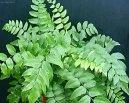 Циртомиум (Cyrtomium) / Комнатные растения и цветы / Папоротники