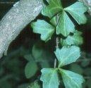 Циссус (Cissus) / Комнатные растения и цветы / Плющи и лианы