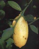 Цитрофортунелла мягкая (Citrofortunella mitis) / Комнатные растения и цветы / Деревца