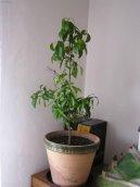 Цитрус (Citrus) / Комнатные растения и цветы / Съедобные растения