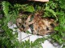 Даваллия канарская (Davallia Canariensis) / Комнатные растения и цветы