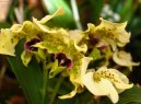 Дендробиум (Dendrobium aphrodite)