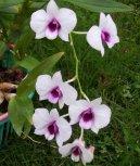Дендробиум (Dendrobium aphrodite) / Комнатные растения и цветы