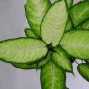 Диффенбахия прелестная (Dieffenbachia amoena) / Комнатные растения и цветы