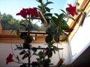 Дипладения (Dipladenia) / Комнатные растения и цветы