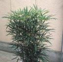 Дизиготека (Dizygotheca) / Комнатные растения и цветы