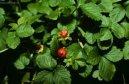 Дюшенея индийская (Duchesnea indica)