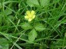 Дюшенея индийская (Duchesnea indica) / Комнатные растения и цветы / Съедобные растения